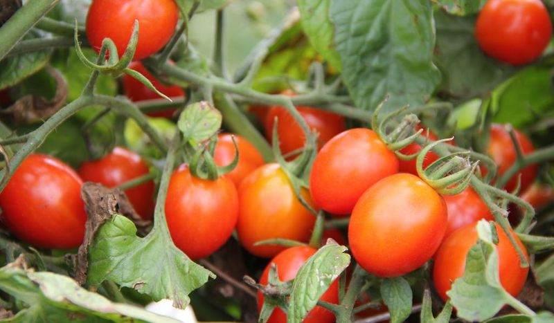 گوجه برای رفلاکس معده